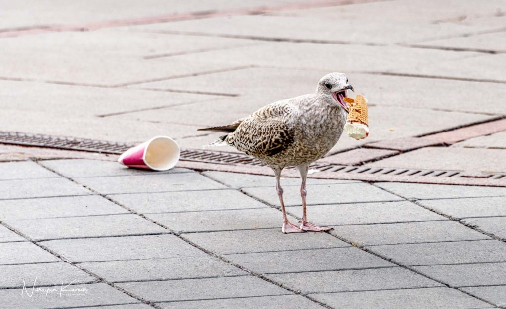 Bird eating ice cream