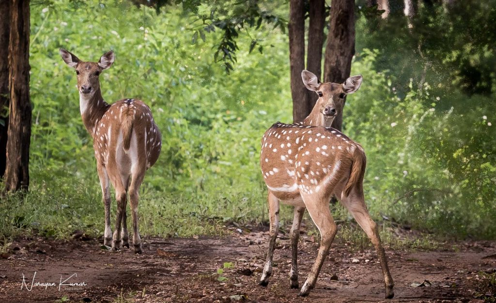 Two spotted deer turning to look, at Kanha National Park, Madhya Pradesh, India
