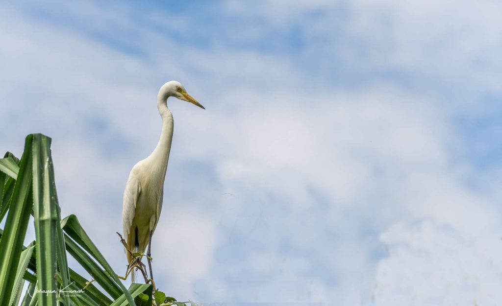 Cattle egret looking out