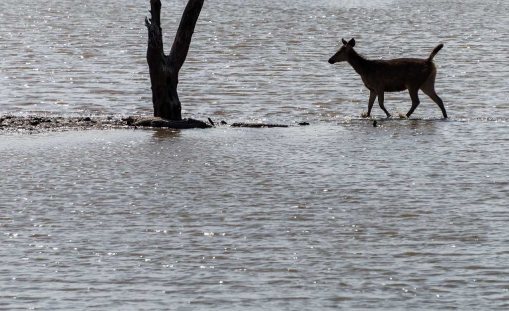 Sambar deer in lake Ranthambore