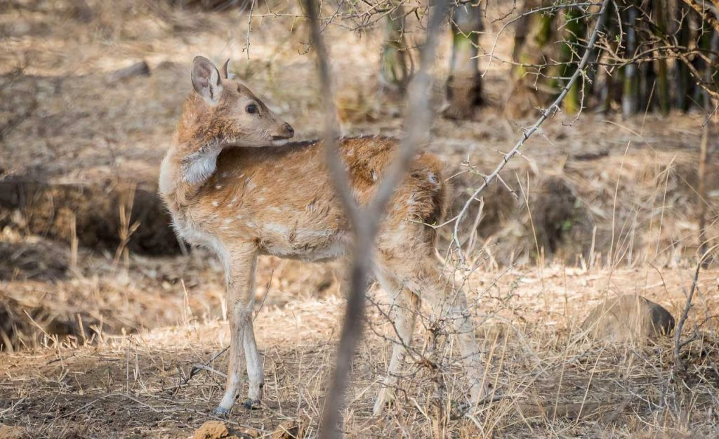 Young spotted deer Ranthambore