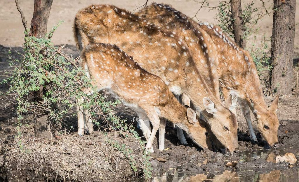 Spotted deer family at water