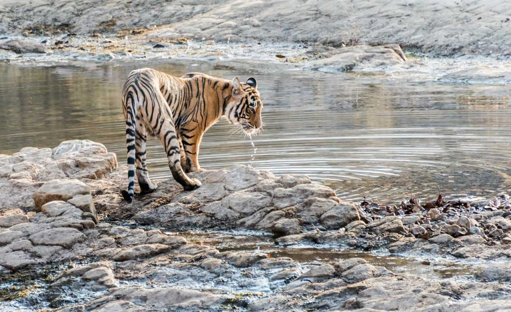 T-39 aka Noor along the water's edge, Ranthambore