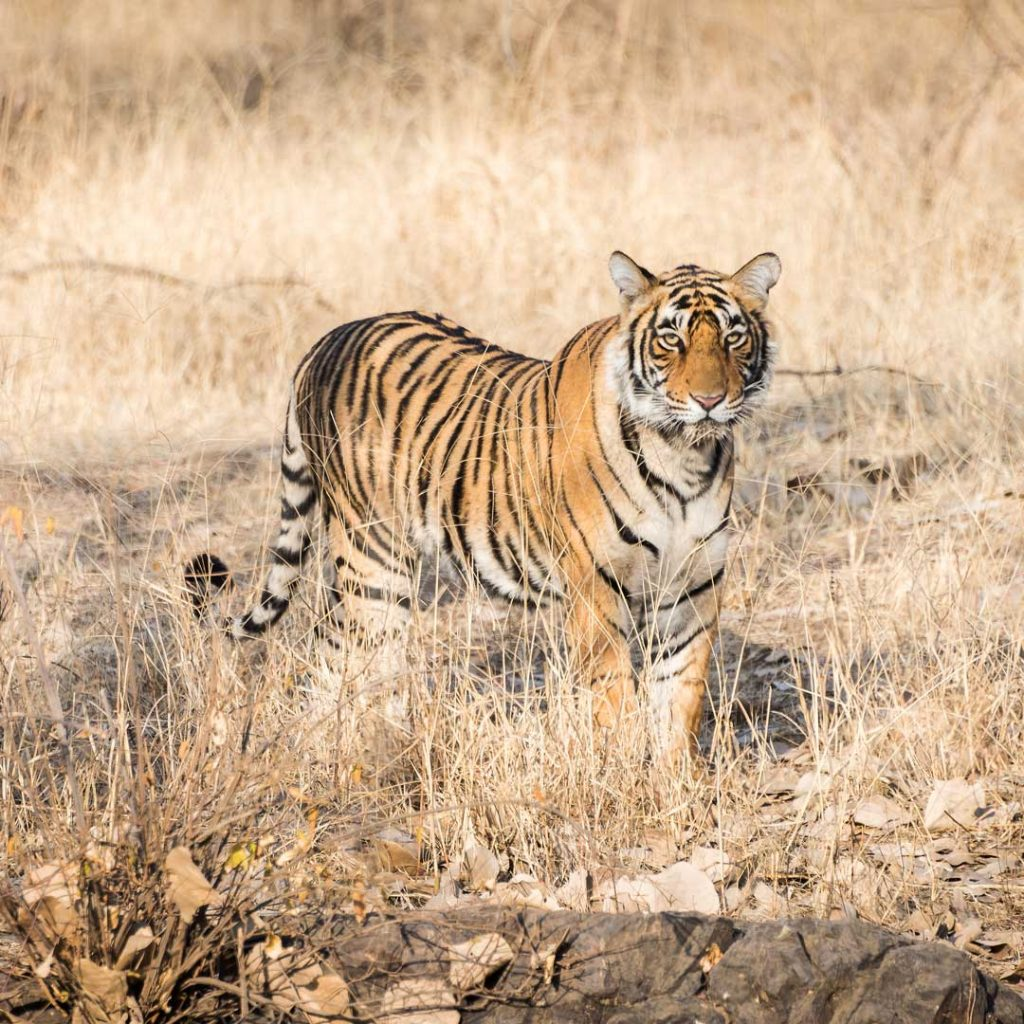 Noor (T-39) poses in all her majesty, Ranthambore