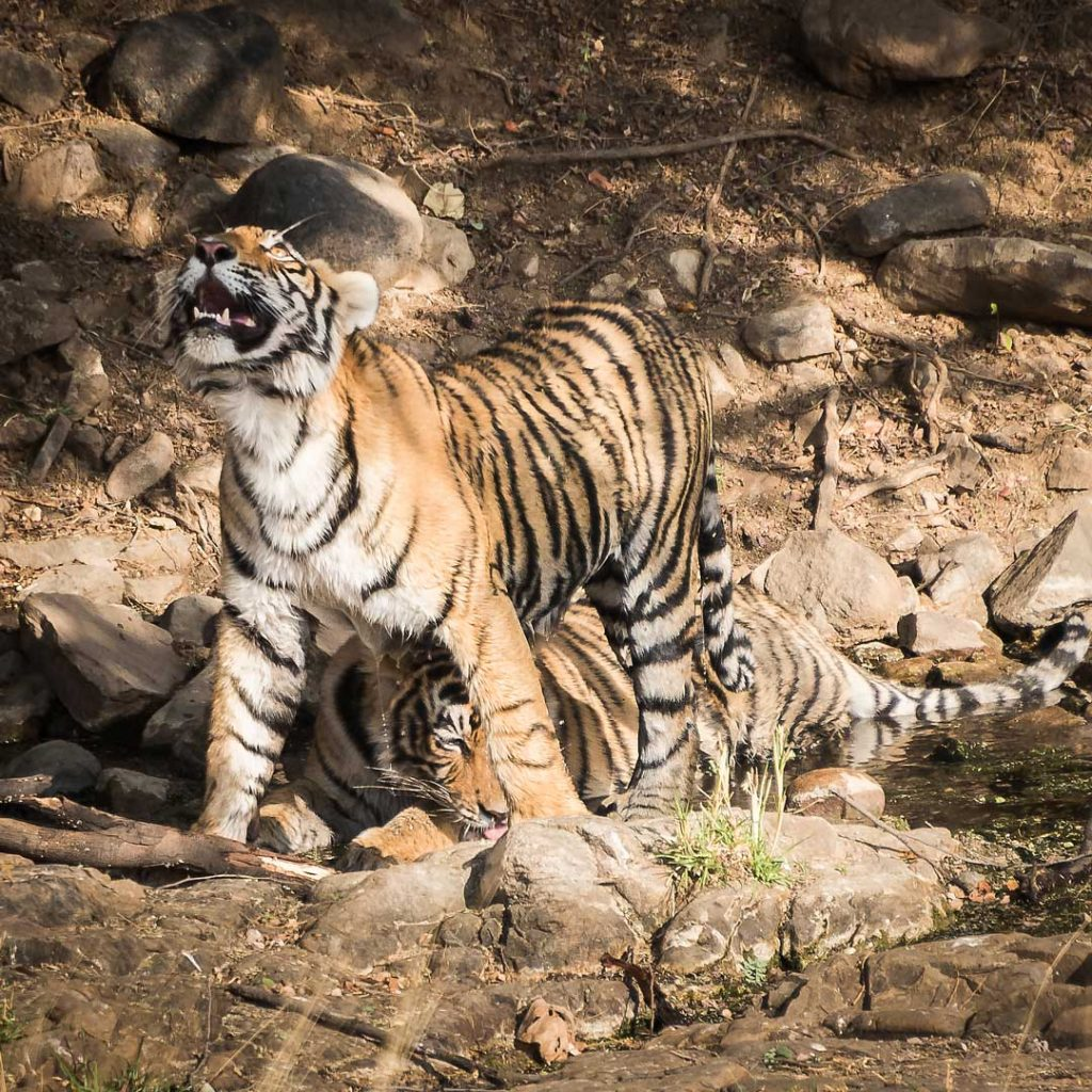 Ladali's male cubs in the water, Ranthambore